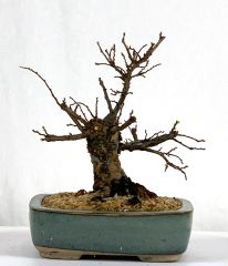 "Corkbark Chinese Elm Bonsai 5"" Tall"