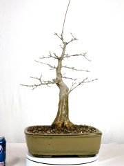 "Trident Maple Bonsai 16"" Tall"