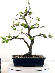 "Chinese Quince Bonsai 15"" Tall"