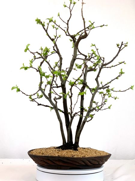 "Chinese Quince Clump Bonsai 27"" Tall"