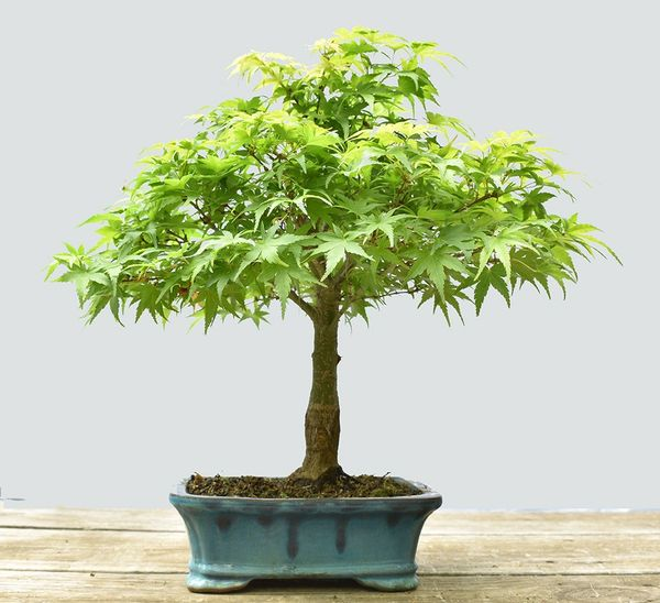 Japanese Maple Sharps Pygmy Bonsai BLC1111