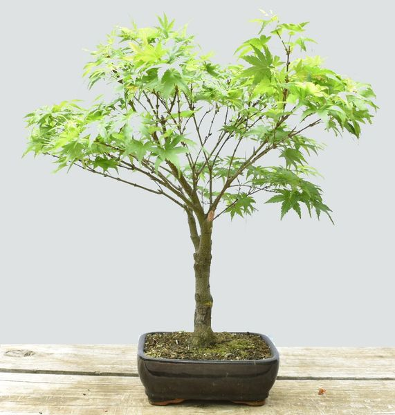 Japanese Maple Sharps Pygmy Bonsai BLC1114