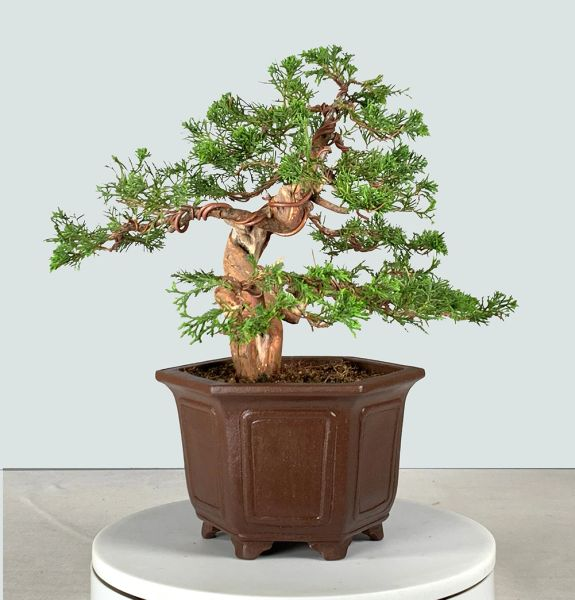 Itoigawa Juniper Bonsai 8137