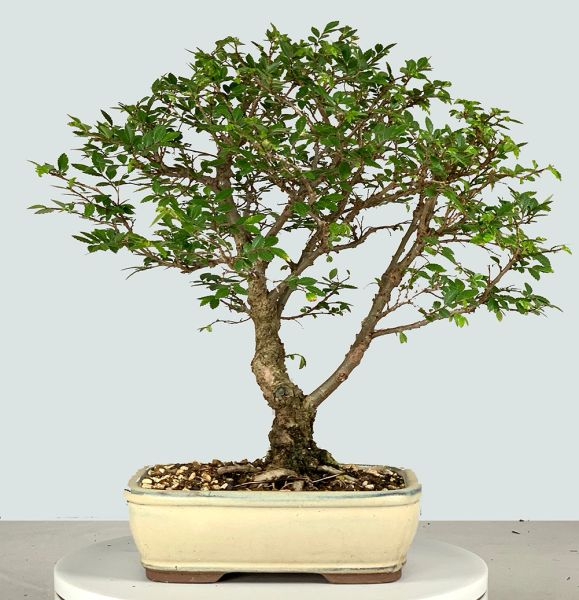 Cork Bark Chinese Elm Bonsai 8171