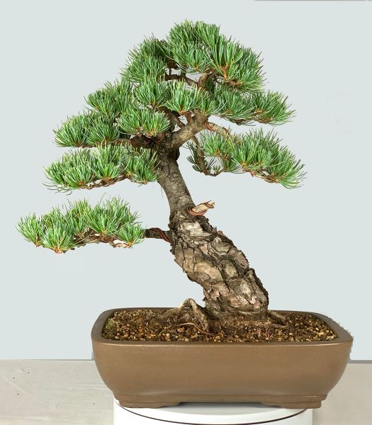Japanese White Pine Bonsai Imported from Japan 8312