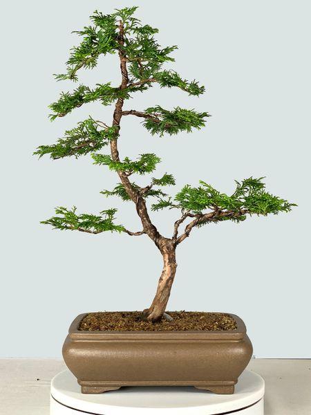 Hinoki Cypress Bonsai 9222