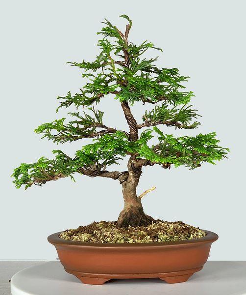 Hinoki Cypress Bonsai 9228