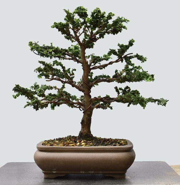 Sekka Hinoki Cypress Bonsai 7701