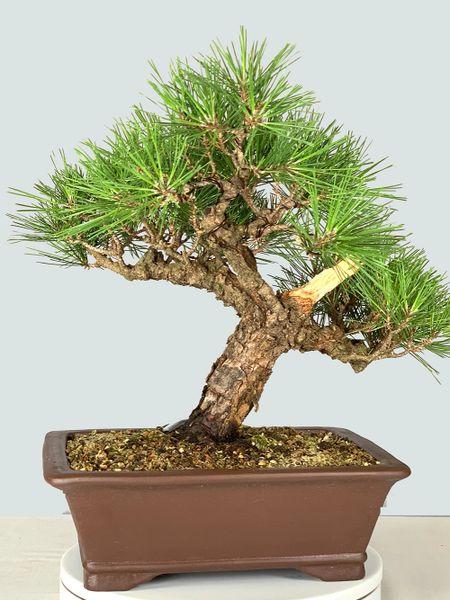 Japanese Black Pine Ara Kawa (Cork Bark) Bonsai 8315