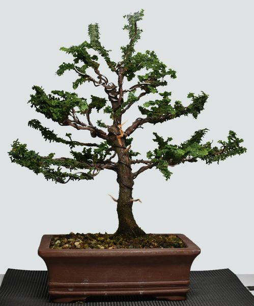 Sekka Hinoki Cypress Bonsai 7702