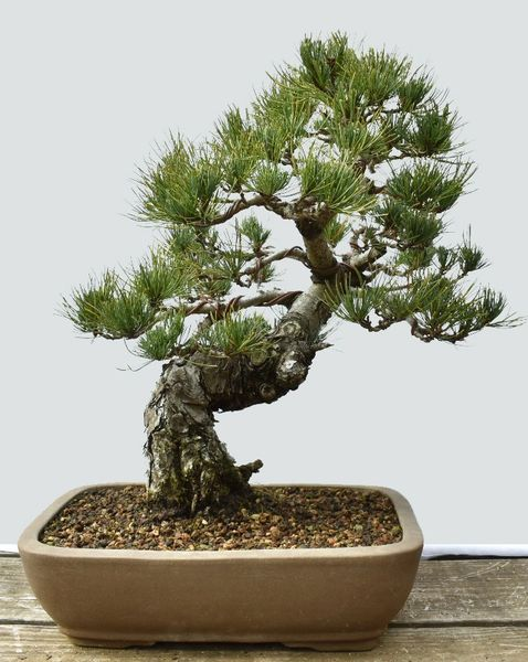 Japanese White Pine Bonsai Imported from Japan HS009