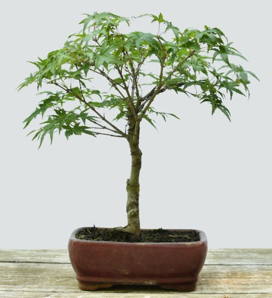 Japanese Maple Sharps Pygmy Bonsai 1687