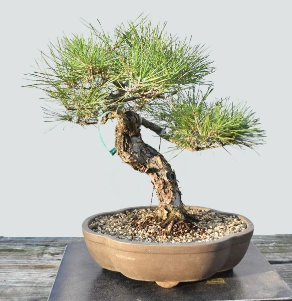 Japanese Black Pine Bonsai 1687