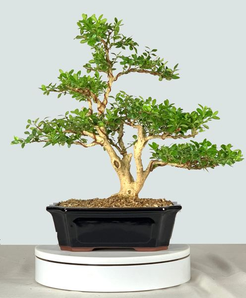 Japanese Boxwood Bonsai 9220