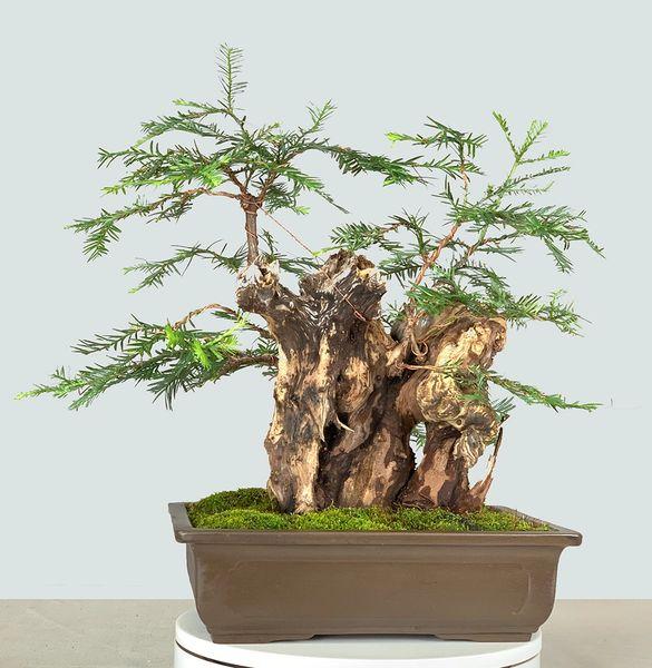 California Coastal Redwood Bonsai 8351