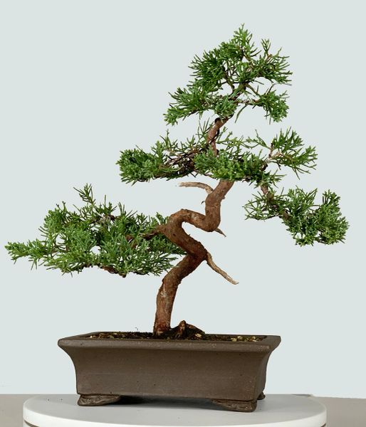 Shimpaku Juniper Kishu Bonsai Bonsai Learning Center Store