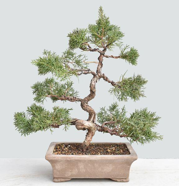 Shimpaku Juniper Kishu Bonsai Tree