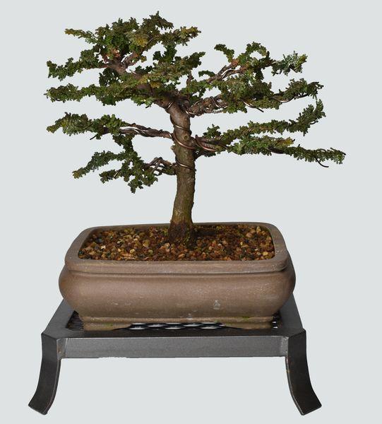 Sekka Hinoki Cypress Bonsai HS024