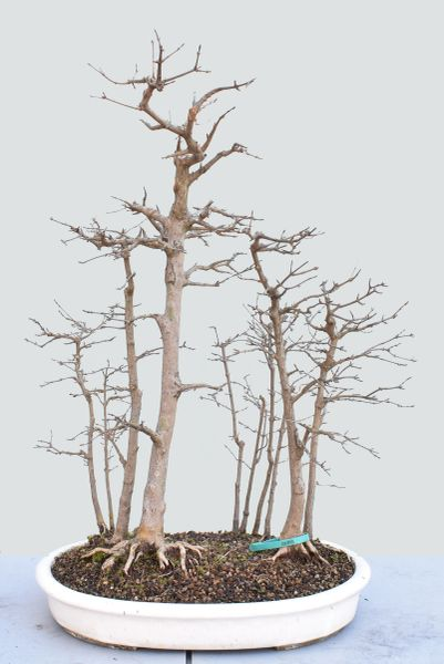 Trident Maple Bonsai Forest 1690