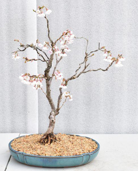 Cherry 'Kojo-No-Mai' Bonsai 1655
