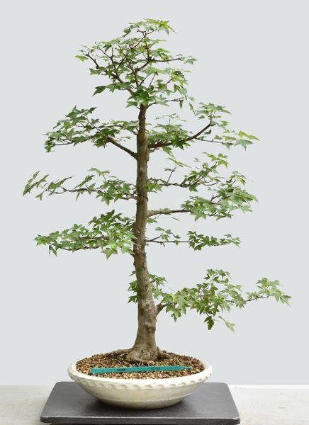 Trident Maple Bonsai 1664