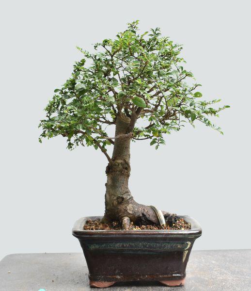 Chinese Elm Bonsai 1667