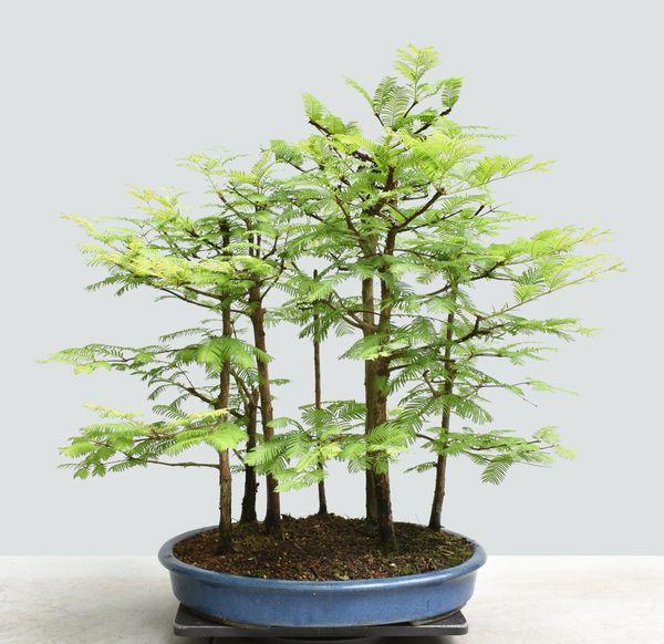 Dawn Redwood Forest Bonsai 1669