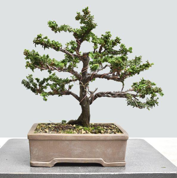 Sekka Hinoki Cypress Bonsai HS025