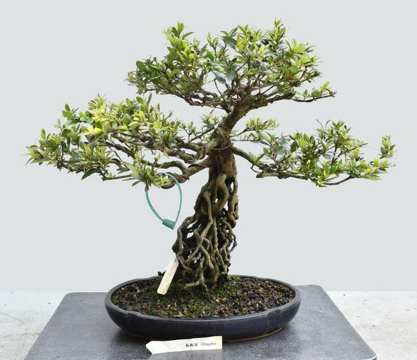 Satsuki Azalea Var. Chojuho Exposed Root Bonsai Japanese Import 1641
