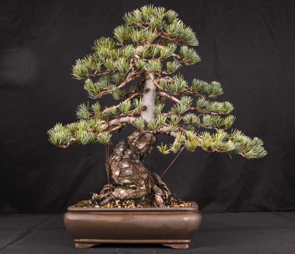 """Japanese White Pine 18"""" Tall Bonsai"""