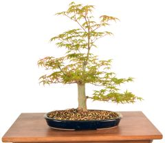 "Japanese Maple 14"" Tall Bonsai"
