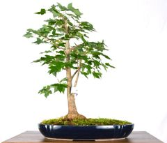 "Trident Maple 11"" Tall Bonsai"