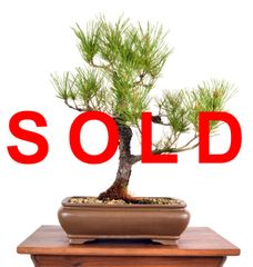 "Black Pine 18"" Tall Bonsai"
