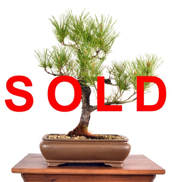 "Black Pine 18"" Tall Bonsai"