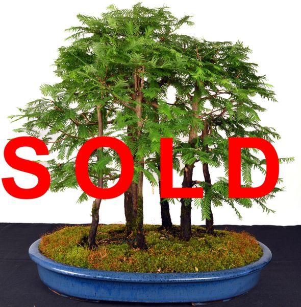 "Dawn Redwood Forest 20"" Tall Bonsai"
