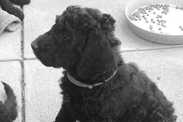 Bernedoodle Puppy for sale available now
