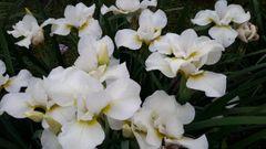 'Dreaming Late'- Siberian Iris