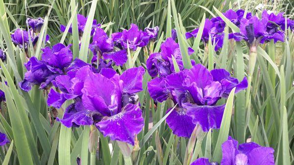 'Natchgesang' - Siberian Iris