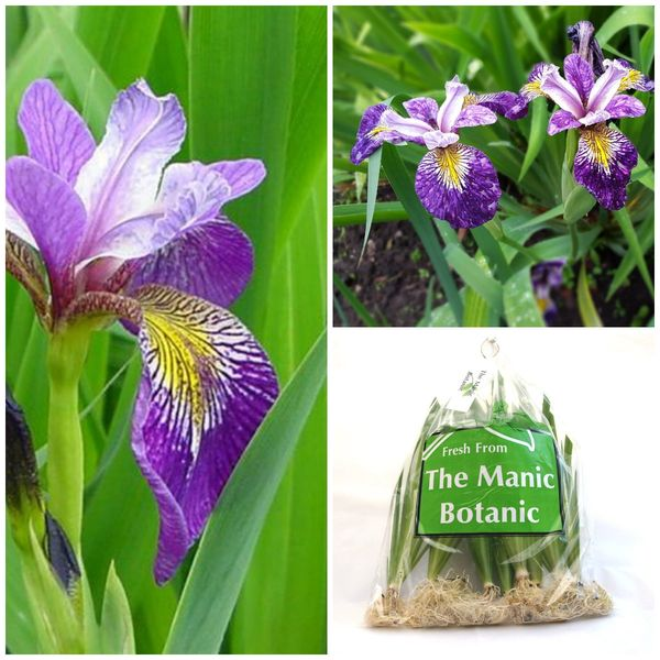 Iris pseudacorus 'Holdens Child'