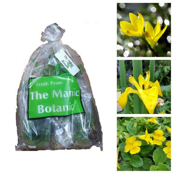 Marginal Pond Water Plants - Yellow Collection - The Manic Botanic®