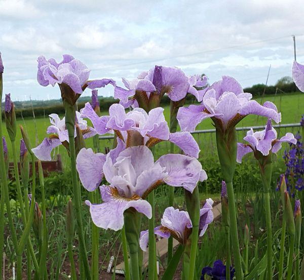 'Lavender Landscape' - Siberian Iris