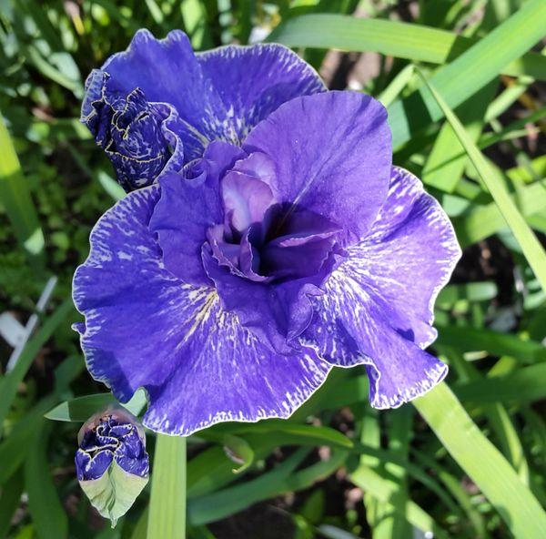 'Berliner Welle' - Siberian Iris