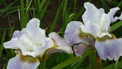 'Berliner Ouverture' - Siberian Iris