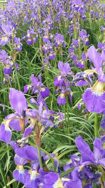 'Drei Quellen' - Siberian Iris