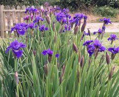 'Prussian Blue' - Siberian Iris