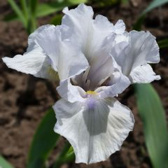 'Loves Tune' Intermediate Bearded Iris