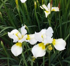 'Dreaming Yellow' - Siberian Iris