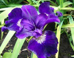 'Shirley Pope' - Siberian Iris