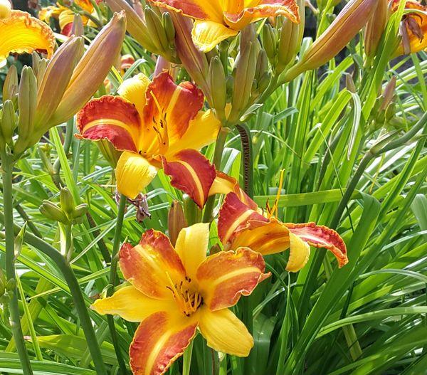 Hemerocallis 'Frans Hals' (Daylily)