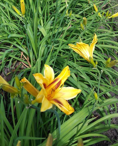Hemerocallis 'Bonanza' (Daylily)